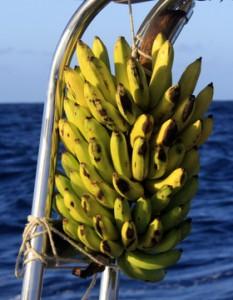 Bananer i lange baner