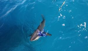 Blacktip shark på kroken!